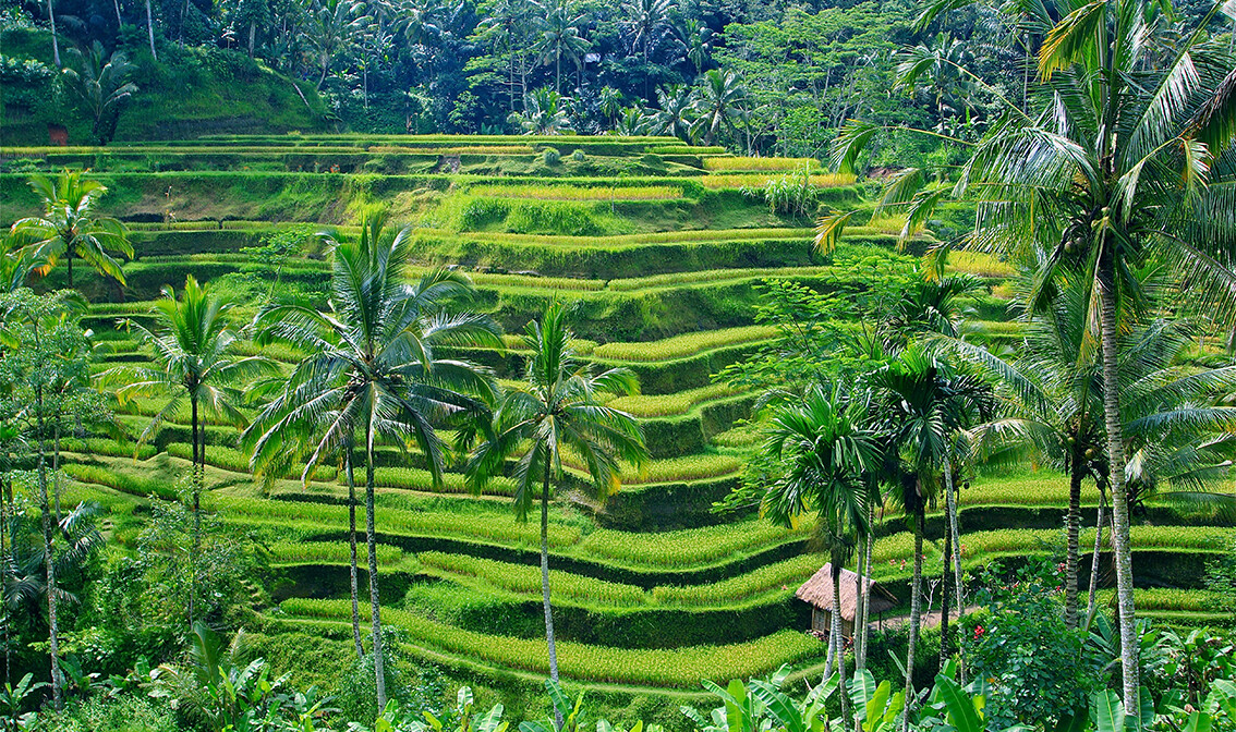 zele rižina polja, putovanja zrakoplovom, Mondo travel,daleka putovanja, garantirani polazak