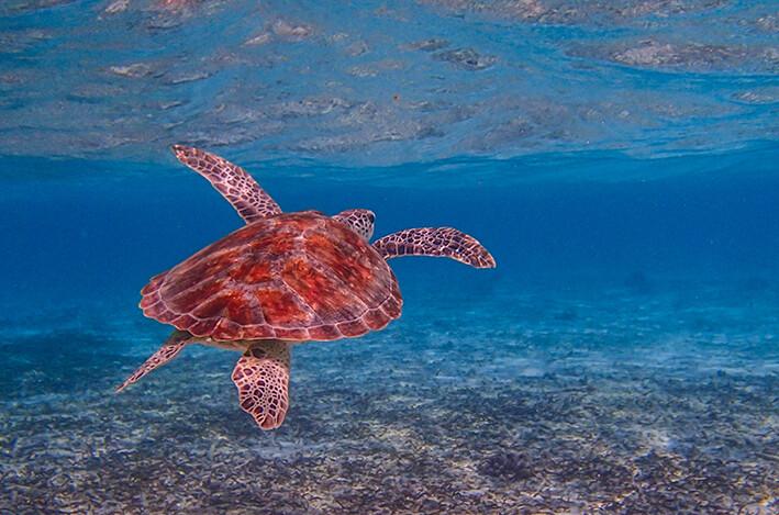 Maldivi, Biyadhoo Island, kornjača
