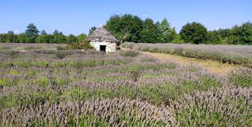 polja lavande u istri