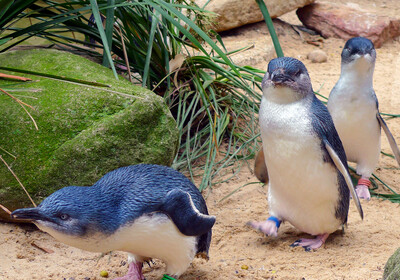 Pingvini na Phillip Island, putovanje Australija, daleka putovanja