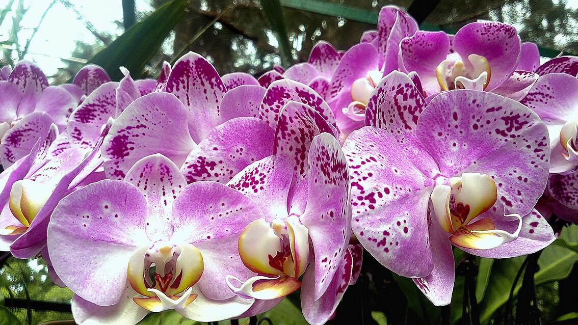 Orhideje u botaničkom vrtu u Singapuru, putovanje Singapur, daleka putovanja
