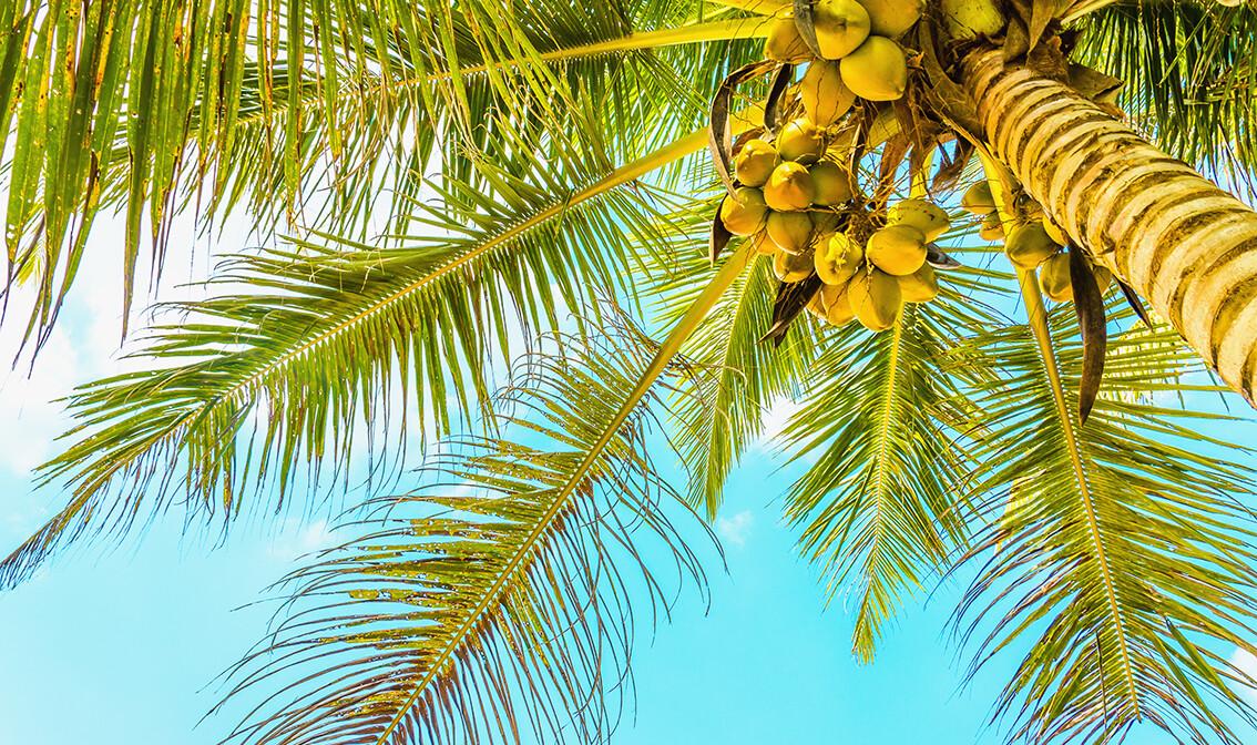 Bahami, pješčana plaža s kokosovom palmom